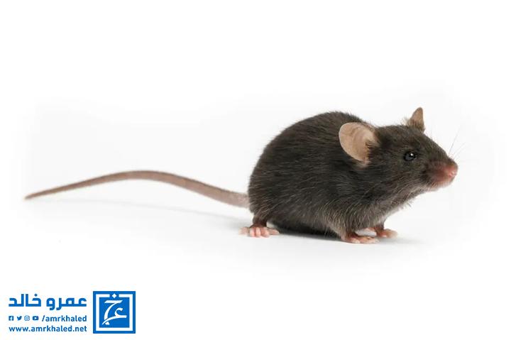 رؤيا الفأر في المنام