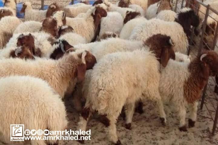 من الاختيار إلى الذبح كيف تشتري خروف العيد